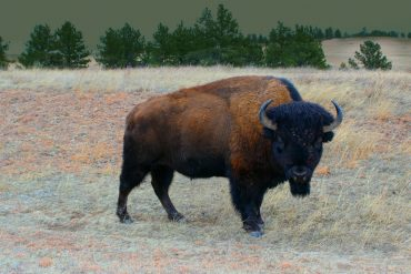 Buffalo or Bison?